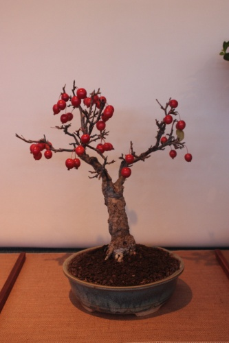 Bonsai Malus S.P. - Assoc. Bonsai Muro