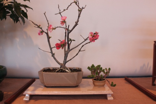 Bonsai Prunus S/P - Assoc. Bonsai Muro