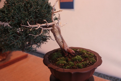 Bonsai 10217 - Assoc. Bonsai Muro