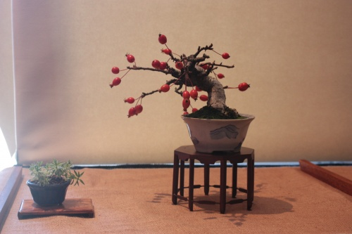 Bonsai Manzano - Pomera - Assoc. Bonsai Muro