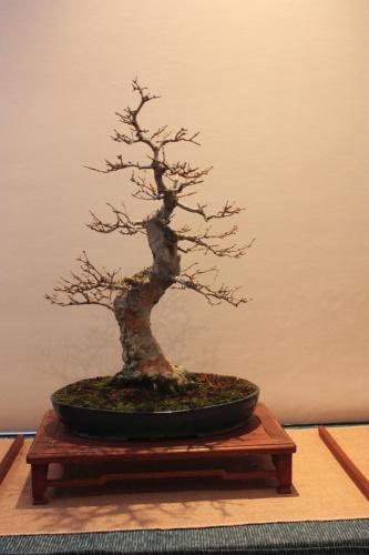 Bonsai Acer Burguerianum - Assoc. Bonsai Muro