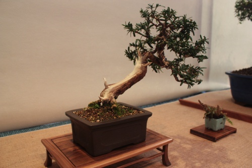 Bonsai Tejo - Teix - Assoc. Bonsai Muro