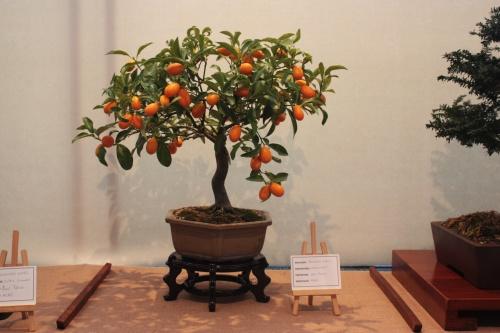 Bonsai Naranjo Chino - Assoc. Bonsai Muro