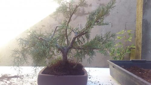 Bonsai juniperus orientalis - javel