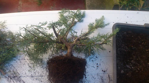 Bonsai juniperus orientalis - javel
