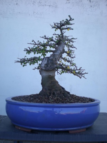 Bonsai Olmo-J2 - Elias