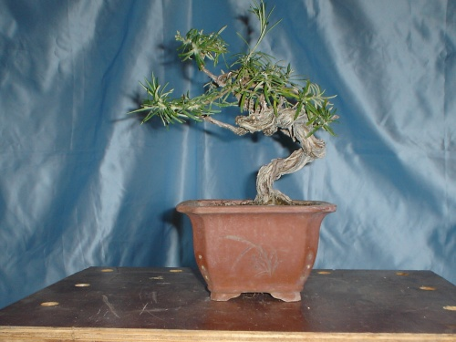 Bonsai MI PEQUEO ROMERO -  xavoly