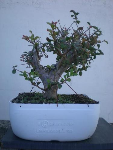Bonsai Lagerstroemia indica rosa 3 - Elias