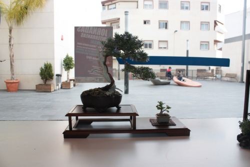 Bonsai Junipero - torrevejense