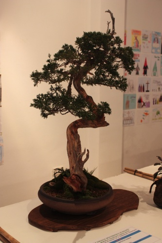Bonsai Club Bonsai Oriol - Juniperus Sabina - torrevejense