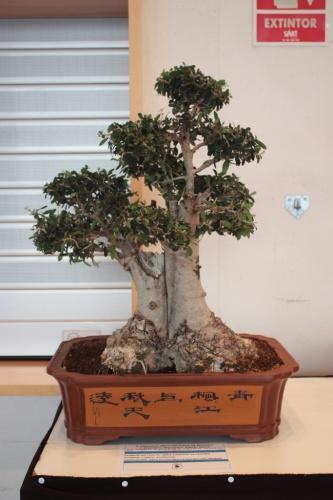Bonsai Acebuche - Asociación Mediterránea del Bonsái - torrevejense