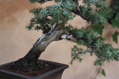 Bonsai Enebro Comun - Bonsai Oriol