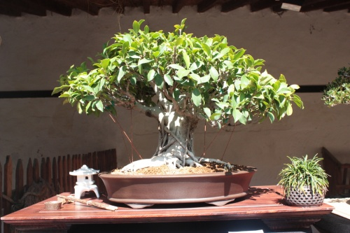 Bonsai Ficus Retusa de Jose Garrigos - Bonsai Oriol