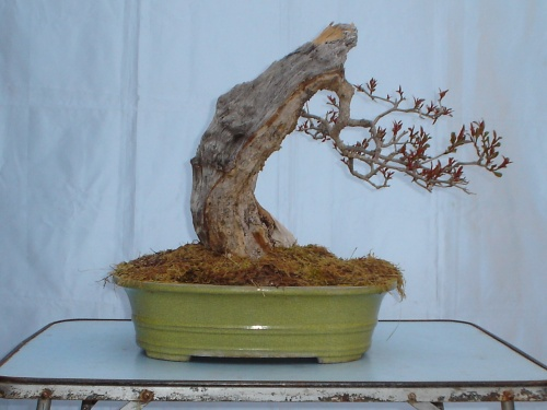 Bonsai UN NUEVO FRENTE -  xavoly