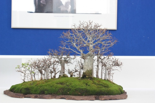 Bonsai Bosque de Olmos - Bonsai Oriol