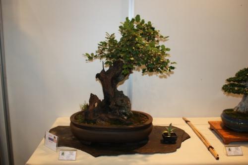 Bonsai Ceratonia Siliqua - Algarrobo - CBALICANTE
