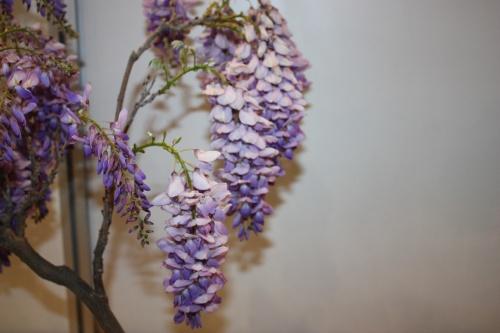 Bonsai Flores de Glicina - CBALICANTE