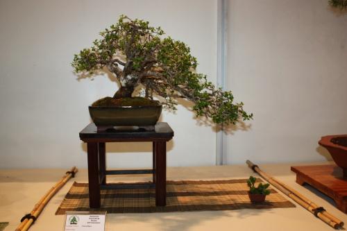 Bonsai Grosellero - Ribes Alpinum - CBALICANTE