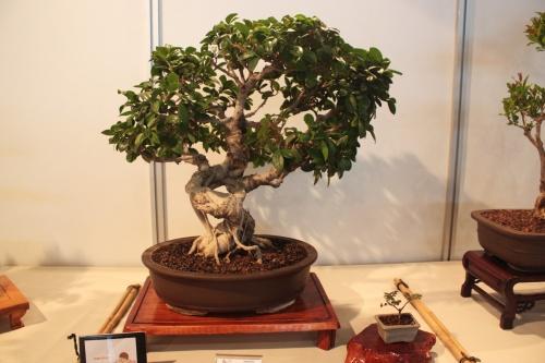 Bonsai Ficus Compacta - CBALICANTE