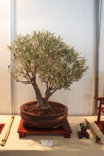 Bonsai Olivo - CBALICANTE