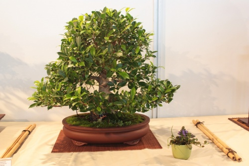 Bonsai Ficus sp. - CBALICANTE