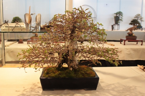 Bonsai Carpe Coreano - Carpinus - CBALICANTE