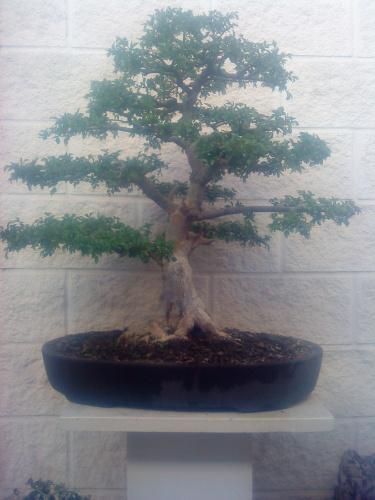 Bonsai ulmus parvifolia - aviguer