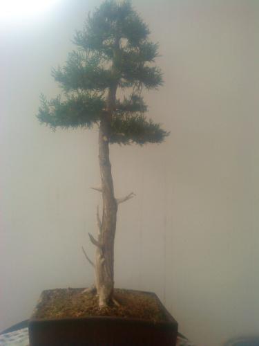 Bonsai thuja occidentalis - aviguer