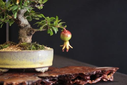 Bonsai Granado - Bonsai Oriol