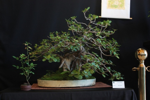 Bonsai Ficus Panda - Bonsai Oriol
