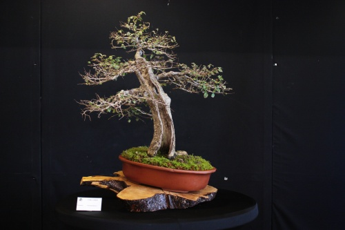Bonsai Olmo Comun - Bonsai Oriol