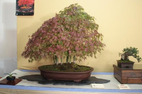 Bonsai Bosque de Acer Palmatum - Assoc. Bonsai Cocentaina