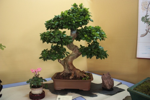 Bonsai Ficus Microcarpa - Assoc. Bonsai Cocentaina