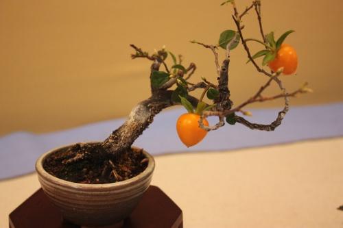 Bonsai Kaki Rhombifolia - Assoc. Bonsai Cocentaina