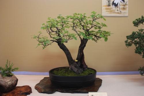 Bonsai Prunus Mahaleb - Cerezo de Sta Lucia - Assoc. Bonsai Cocentaina