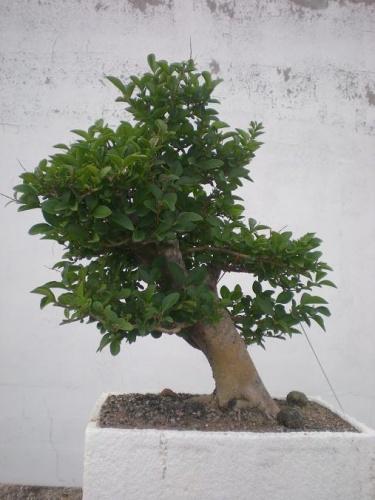 Bonsai Aligustre-4 - Elias