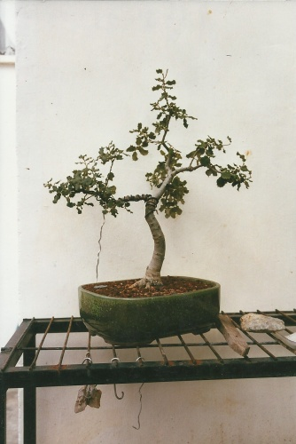 Bonsai 11401 - vicente solbes
