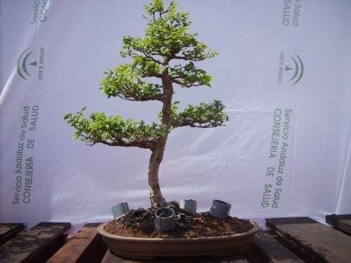 Bonsai 11409 - BALDOMERO