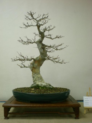 Bonsai 11561 - Assoc. Bonsai Muro