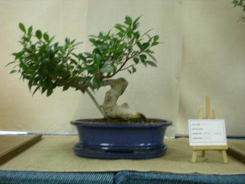 Bonsai 11565 - Assoc. Bonsai Muro