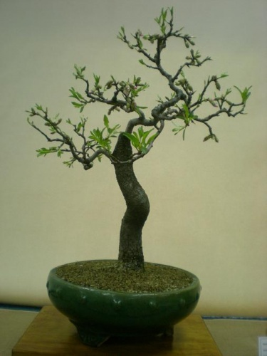Bonsai 11569 - Assoc. Bonsai Muro