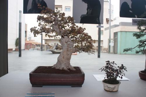 Bonsai Acer Burgeriano - torrevejense