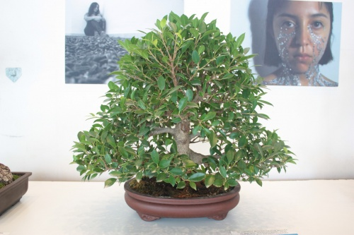Bonsai Ficus Retusa del Club Bonsai Oriol - torrevejense