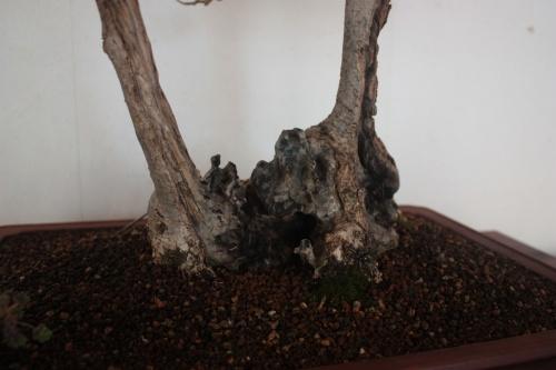 Bonsai Doble tronco de Acebuche - torrevejense