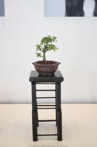 Bonsai Acer Palmatum Cotohime - torrevejense