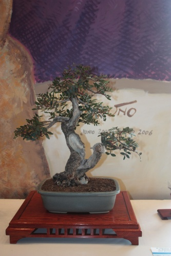 Bonsai Lentisco - torrevejense