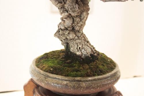 Bonsai Alcornoque - Detalles del tronco - torrevejense