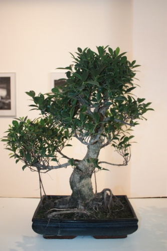 Bonsai Ficus Retusa - Club Bonsai Kuka - torrevejense