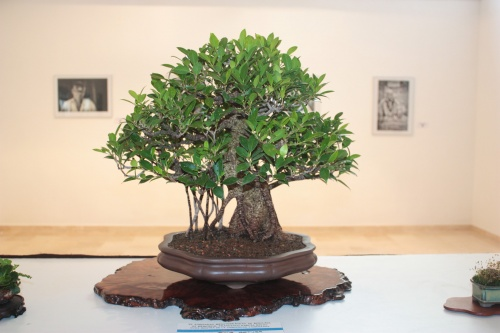 Bonsai Ficus Retusa - torrevejense