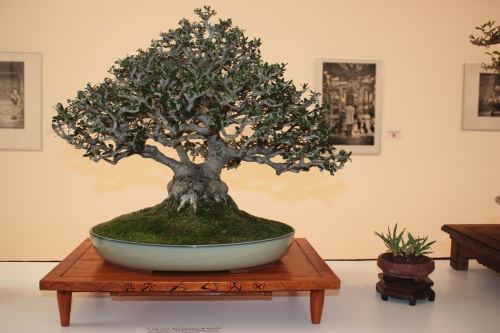 Bonsai Olea Europea - Club Bonsai Espadan - torrevejense